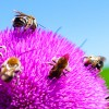 Пир пчел на татарнике.