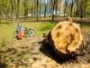 Старый тополь в парке им. Н.Островского