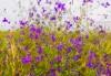 Июльский узор - живкость полевая. Лечебный, ядовитый, красивый, медоносный сорняк.