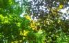 Клены в парке им. Н.Островского