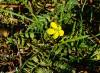 Якорцы стелющиеся, последние цветы года