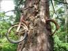 Деревья срослись с теплотрассой